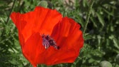 анемон : Flowers are red poppies in spring morning Стоковые видеозаписи