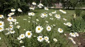 lawn : Camomile blossoms in spring morning