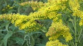 picar : Insect collects nectar on a yellow flower golden rod
