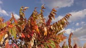 decorações : Autumn leaves tree sumac (LAT. Rhus typhina) swinging in the wind