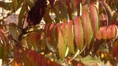 szárak : Autumn leaves tree sumac (LAT. Rhus typhina) swinging in the wind
