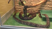 yılan : Woody Madagascar BOA this is not a poisonous snake, endemic to Madagascar