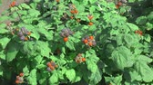 amoras : Garden Berry BlackBerry came in the summer garden Vídeos