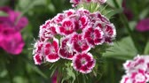 goździk : Flower carnation Turkish (Dianthus barbatus) blossoms in spring morning.
