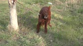 przyjaźń : Irish setter dog on a walk in spring morning