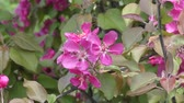 crab apple : Pink flowers of the Apple-tree