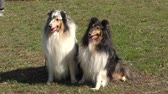 przyjaźń : Dog breeds of Collie on the walk