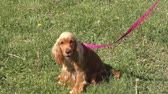 cão de raça pura : Dog breed English Cocker Spaniel on the walk