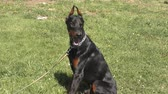 подруга : Dog breed Doberman on a morning walk on a summer day