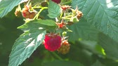 framboesa : Raspberry in the summer garden Stock Footage