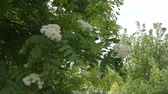 üvez ağacı : White flowers of Rowan in Spring Garden Stok Video