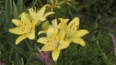 тычинка : Garden Lily yellow In the flecked in summer
