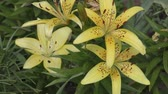 лилии : Garden Lily yellow In the flecked in summer