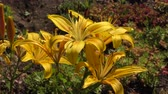 Lily yellow with dots in the summer garden