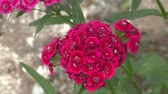 goździk : Flower carnation Turkish (Dianthus barbatus) blossoms in spring morning