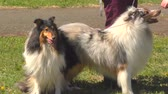 Dog breeds of Collie on the walk
