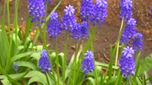 hyacint : Spring primula purple color muscari