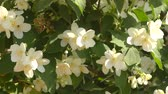 romantyczny : Jasmine flowers white in the summer garden