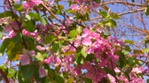 maçãs : Pink flowers of apple tree in spring garden
