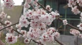 abricot : Apricot blossom in Spring Garden