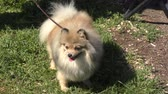pomeranian spitz : German Spitz for a walk