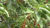 laub : Bird cherry in the summer garden