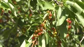 aves : Bird cherry in the summer garden