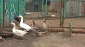 거위 : Geese on the farm on a hot summer day 무비클립