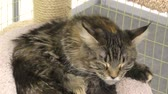 garras : Kitten breed maine coon on resting Archivo de Video