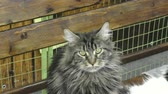 funny cat : Kitten breed maine coon on resting Stock Footage