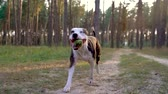 game show : Dog staff runs through the forest at sunset. Slow motion Stock Footage