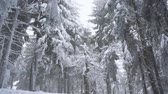 ель : Snowstorm in a snowy mountain coniferous forest, uncomfortable unfriendly winter weather.