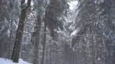 страна чудес : Snowstorm in a snowy mountain coniferous forest, uncomfortable unfriendly winter weather.