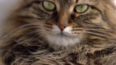 пантеры : Cute muzzle of a fluffy tabby cat Стоковые видеозаписи