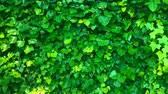 chvět se : Wall is covered with green leaves that sway in the wind Dostupné videozáznamy