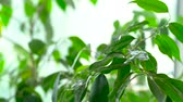 водянистый : Sprayed water is falling on the leaves of a green plant. Close-up