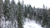 snow covered spruce : Flying through the coniferous forest in the mountains in winter