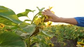 coltivazione : Female hand touches a sunflower and picks off the petals from it. Field of ripe sunflowers at sunset. Agriculture. Harvesting