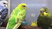 grasparkiet : Several budgies are sitting on a perch in a pet store
