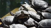 entrar : A Red Eared Slider Turtle, (Trachemys scripta elegans), on a log, Basking in the Sun.