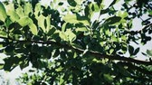 Green Plums Grow on a Tree Branch in the Garden