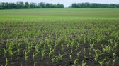 Agricultural Fields, with Young Shoots of Corn