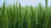 A Field of Young Wheat.Green Shoots Reach for the Sky. Wideo