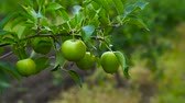 Green Apples on a Branch ready to be Harvested, Outdoors.