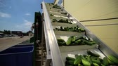 przetwory : Cannery. Preserving of Vegetables and Legumes. Cucumbers on a Conveyor belt