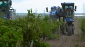 Harvesting Grapes in the Vineyards of the Crimea. The Harvester moves along the Vine to Harvest