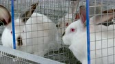 White Rabbits on a Rabbit Farm