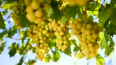 differenciál fókusz : White wine grape Italy