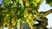 group : White wine grape Italy