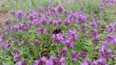 Bumblebee on thyme flowers collecting nectar or pollen.